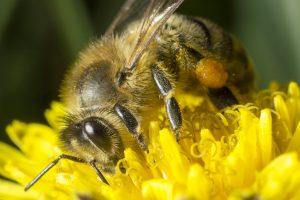 Макро-кадр пчелы